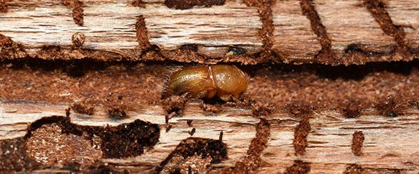 larve charpente en bois